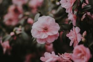 Ý nghĩa một số loài hoa trong tiếng Anh